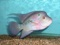 ماهی فلاور کله گاوی