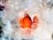 ماهی کلون - شقایق دریایی