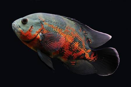 عکس ماهی اسکار زینتی گوشتخوار aks mahi oskar