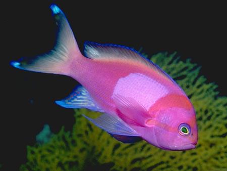 عکس ماهی استوایی صورتی زیبا tropical fish