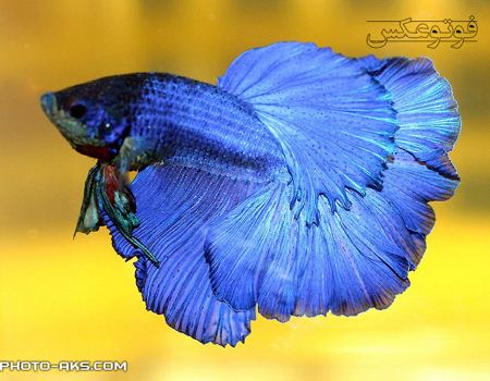 ماهی فایتر آبی blue fighter fish