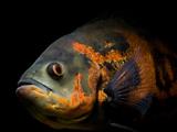 ماهی اسکار - ماهی گوشت خوار