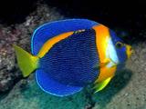 عکس فرشته ماهی آبی زیبا