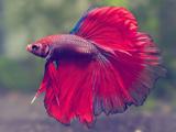 عکس ماهی بتا یا فایتر