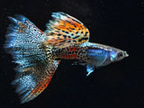 عکس ماهی کوپی آکواریوم