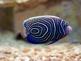 عکس فرشته ماهی امپراتور