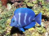 ماهی آبی آکواریومی
