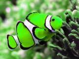 عکس دلقک ماهی سبز خوشگل