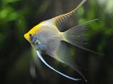 پوستر ماهی آکواریومی زیبا