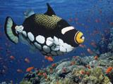 ماهی پوفر یا صندوق ماهی
