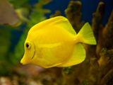 ماهی آکواریومی زرد