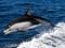 عکس پرش دلفین سیاه