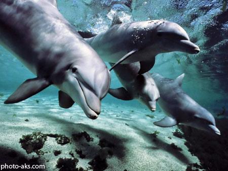 بازی دلفین ها زیر آب dolphins wallpaper