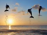 بازی و پرش دلفین ها