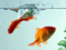 ماهی قرمز در آکواریوم