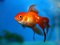 پوستر عکس ماهی قرمز