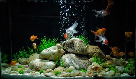 والپیپر آکواریوم ماهی های قرمز golden fish aquarium