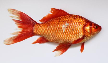 عکس ماهی قرمز عید golden fish 2016