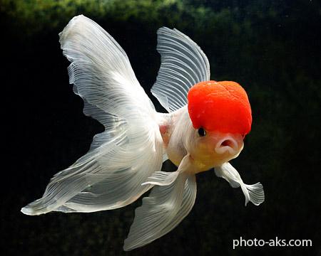 عروس ماهی red cap goldenfish