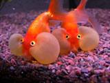 ماهی قرمز چشم حبابی