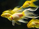 عکس ماهی های قرمز زیبا