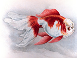 نقاشی ماهی قرمز اوراندا