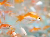 والپیپر آکواریوم ماهی قرمز