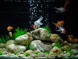 والپیپر آکواریوم ماهی های قرمز