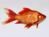 عکس ماهی قرمز عید