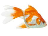 عکس ماهی قرمز دو رنگ
