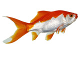 عکس ماهی قرمز دورنگ