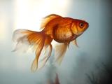 عکس ماهی قرمز عید خوشگل