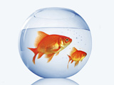عکس تنگ ماهی قرمز گرد