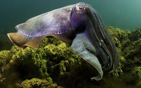 عکس ماهی ده پا یا سپیداج cuttlefish under water