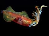 عکس ماهی مرکب