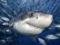 کوسه ماهی سفید