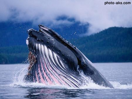 وال آبی خیلی بزرگ blue whale head