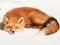 عکس جالب خواب روباه حنایی