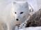 عکس روباه سفید ماده