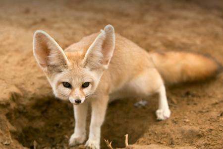 روباه گوش دراز صحرایی فنک animal fennec fox
