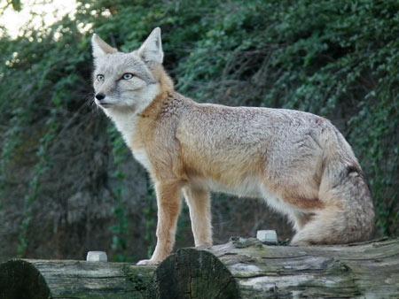 عکس روباه ترکمنی corsac fox picture