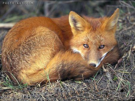 روباه fox