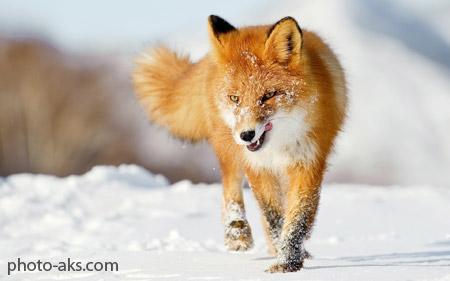 عکس روباه در زمستان fox snow winter