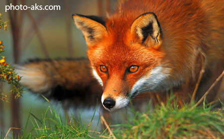 روباه قرمز red fox eyes