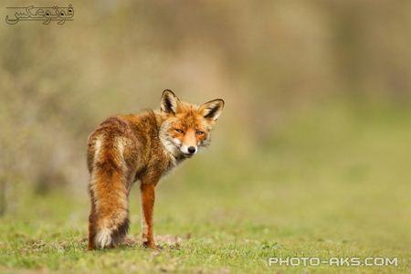 روباه قرمز در حال نگاه به عقب red fox