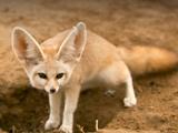 روباه گوش دراز صحرایی فنک