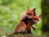 عکس دو بچه روباه بامزه