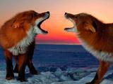 عکس نبرد دو روباه در زمستان