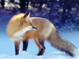 عکس روباه زرد در طبیعت برفی