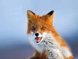 عکسهای جالب از روباه